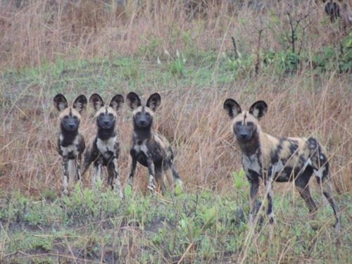Wild dog in Kafue.. get to see this unique and endangered predator up close