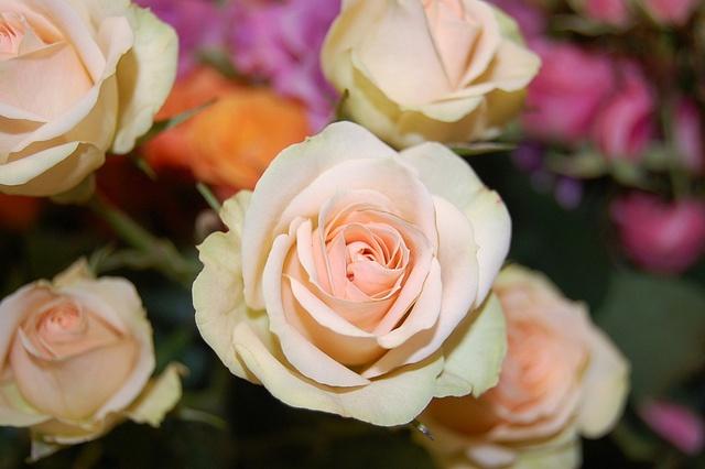 Peach Spray roses
