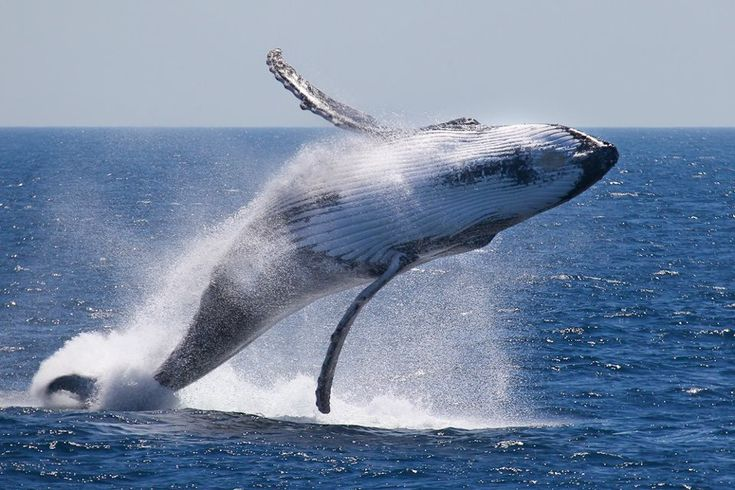 Humpback whales always stop at Hervey Bay on their annual migration. Hust book #resortaccommodation in #HerveyBay from July-November to watch these humpback whales.