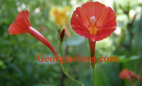 how to make morning glory seed tea
