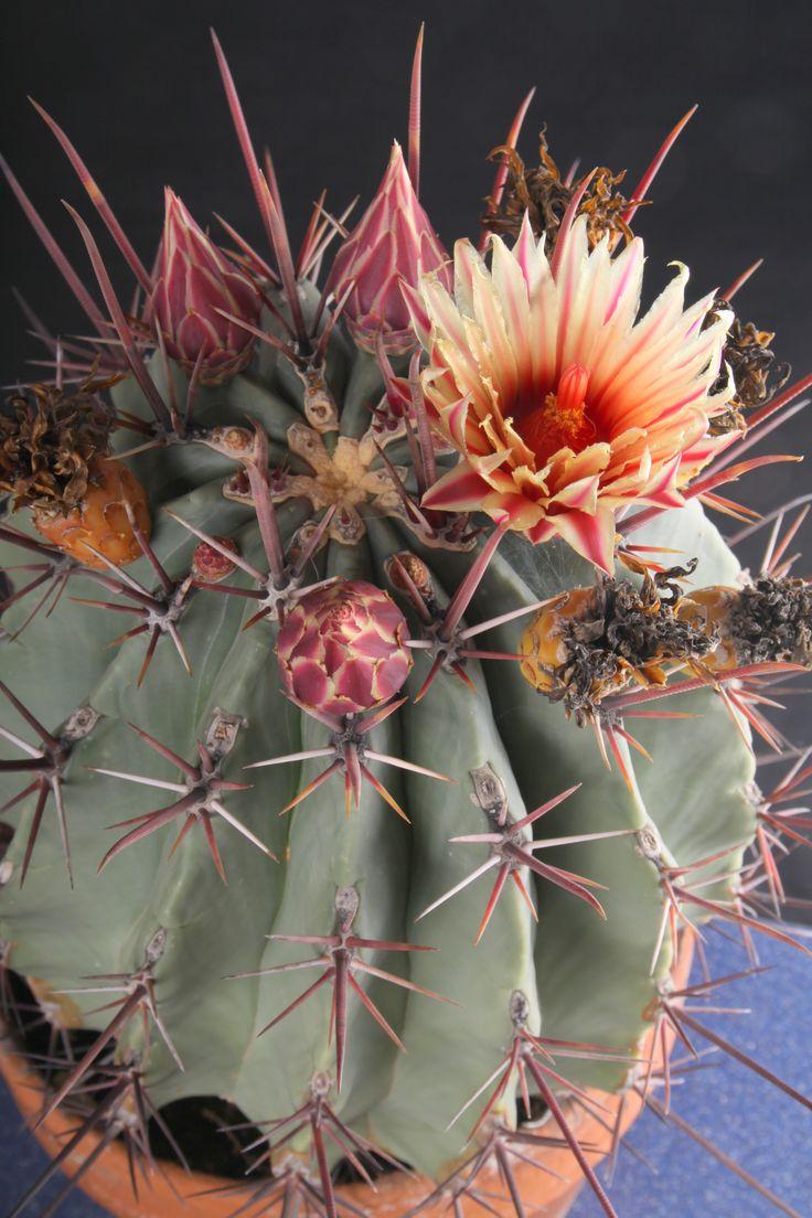 25 beste idee n over cactussen en vetplanten op pinterest for Vivero feroxcactus