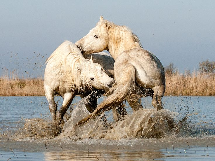 johnhallamimages:    Camargue Stallions Play-Fighting in Water (1) by John Hallam Images  The stallions were brought to the pond, for them to interact. There was a big age difference, so they were not very active. Any apparent action was play-fighting and not serious aggression