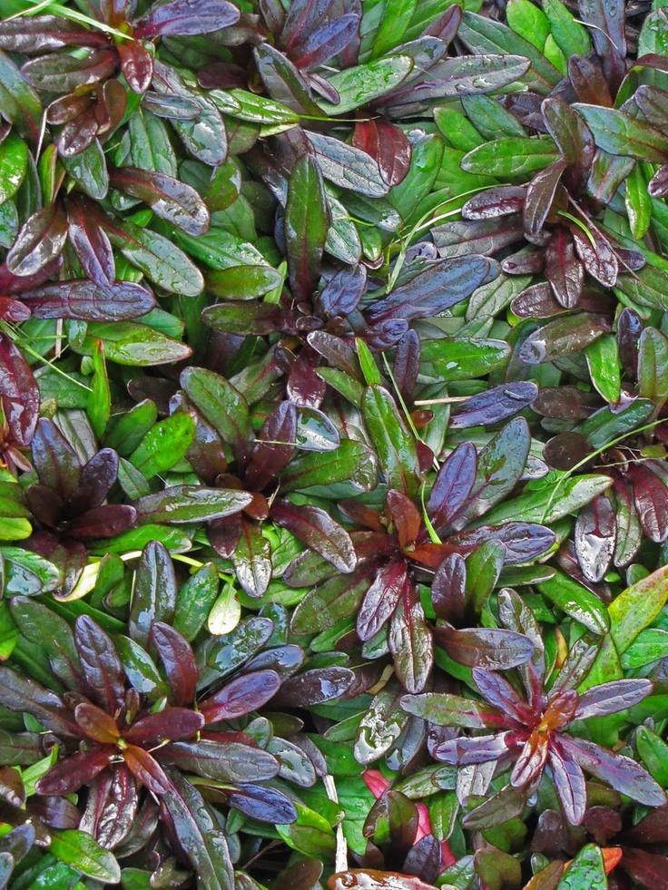 Ajuga (Bugleweed) 'Chocolate Chip' - groundcover - flowers in spring; deer resistant; partial sun or shade;