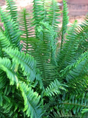 Kimberly Queen Fern, also known as Australian Sword Fern is tougher than other ferns, tolerating heat, high and low humidity, and even full sun as long as it gets plenty of water. With upright fronds that are unaffected by wind and rain, this elegant fern is perfect for outdoor planters.