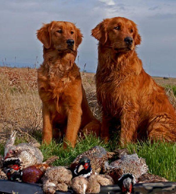red golden retriever puppies for sale | Zoe Fans Blog