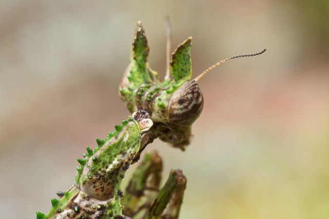 Moss mantid (Haania sp.) (3) | Flickr - Photo Sharing!