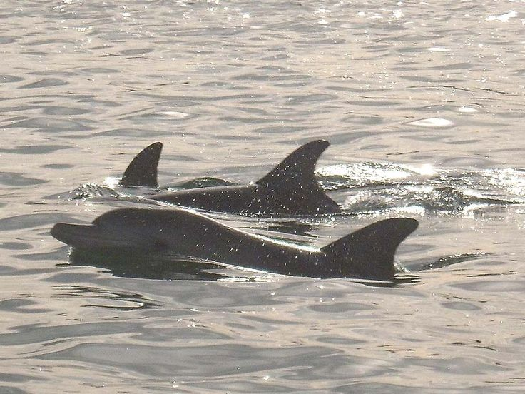 A pod of bottlenose dolphins relaxing in Mandurah Estuary, see them when you stay at Port Sails Canal Villa