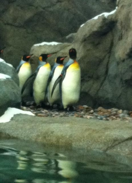 It won't be long before the penguins at the Calgary Zoo are off again. Make sure you stop in and say hello this summer! #summeryyc