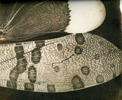 Photogram of moth's wings by Fox Talbot