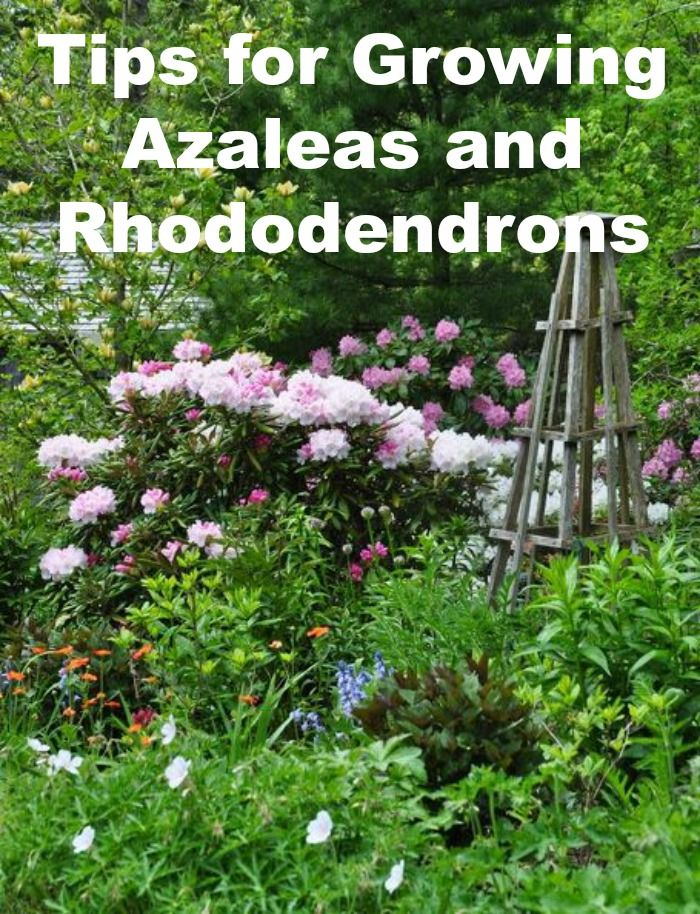 Tips for growing beautiful azaleas and rhododendrons