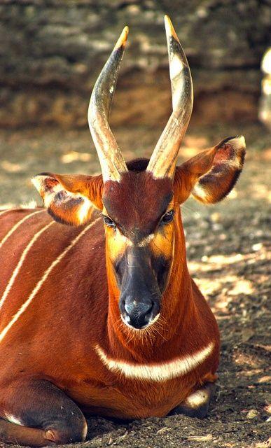 ❧ Wild life - Les animaux sauvages ❧ Bongo