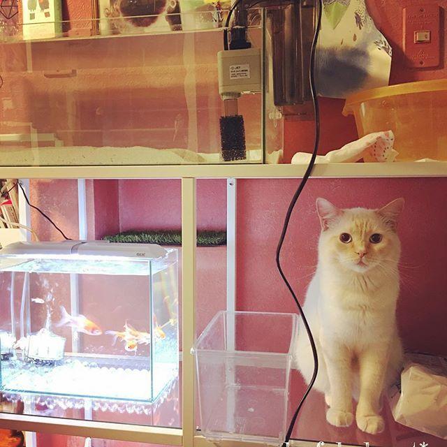 娘にランチュウ水槽を返してもらったので、家にあった用品で海水水槽作ってみたけど... * ちょっと...😅💦でも愛猫が可愛いので📷✨ * とりあえず、前に購入し ほぼ未使用のマメカルシウムサンドをいれてみたので記録😊 * #水槽立ち上げ#海水水槽#マイアクアリウム#アクアリウム #sea#myaquarium#aquarium#coral#coralreef#saltwatertank#ファンタジー#エキゾチックショートヘア#exoticshorthair#子猫#猫#ネコ#cat#kitty #キティ#ラブリー#lovely#愛猫#邪魔猫#🐈#金魚#goldfish