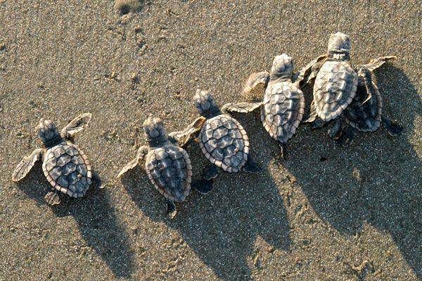 Sea Turtles  Paradise Shave Ice from Kona, Hawai'i 4050 US Hwy 1, # 316 Jupiter, FL 33477 571-907-8ICE (8423)