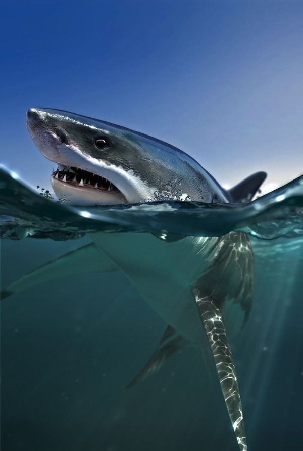 great white - amazing photograph