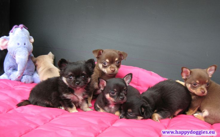 http://www.happydoggies.sk/happy-doggies/chihuahua%2003.jpg