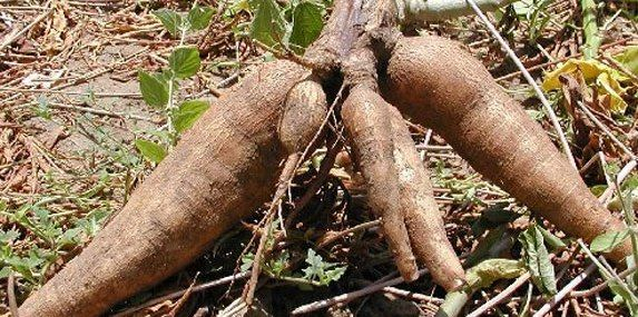 What is Cassava?, this is similar to other tubers like yam ...