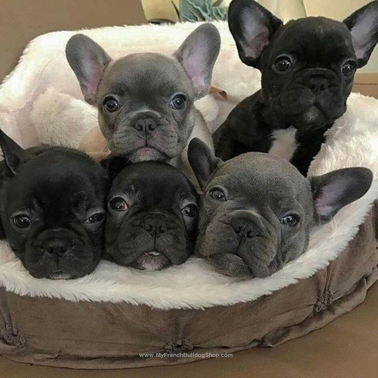 .▼▼▼ Like This Post? Then Show Some Love And Tag Your Frenchie Loving Friends! ▼▼▼ . After you have done that make sure to follow us for more awesome posts like this. Also make sure to check out our shop at www.MyFrenchBulldogShop.com if you want to pick up some awesome French Bulldog merchandise :) #frenchie #instafrenchie #frenchies #frenchiesofinstagram #frenchielove #fitfrenchies #frenchieoftheday #frenchiegram #ilovemyfrenchie #thefrenchiepost #fab_frenchies #frenchielife #..
