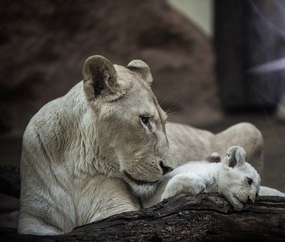Löwe, Weißer Löwe, Löwin, Großkatze