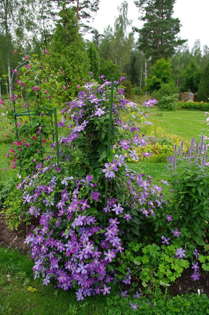 dagens clematis arabella 1 5 2 m juni till oktober vid rosportal garden pinterest klematis. Black Bedroom Furniture Sets. Home Design Ideas