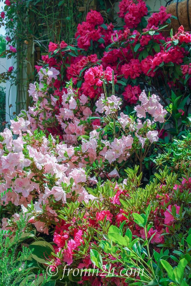 10 bushes to plant under trees beautiful azaleas and rhododendrons