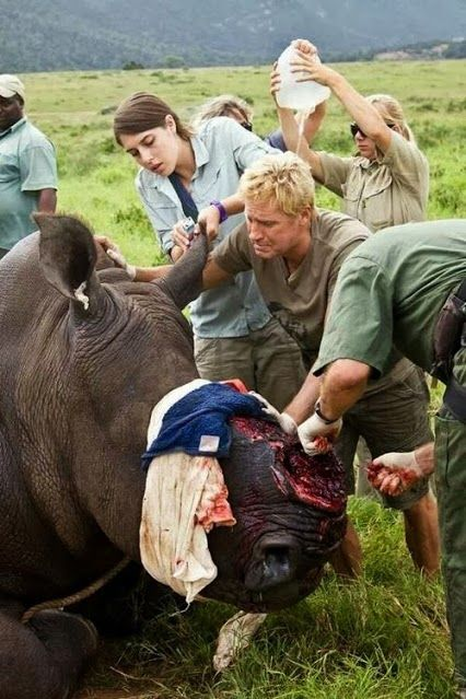 This is Themba, one of 3 rhinos poached at Kariega Nature Park a while back.  One died and two were left, Themba and Thandi.  Themba sadly died about 24 days  after the attack from severe facial injuries.  Thandi is still undergoing skin grafts and is doing fine. To date 891 rhinos have been poached in South Africa this year alone - 27 Nov 2013. At this rate there will be no rhinos left soon.