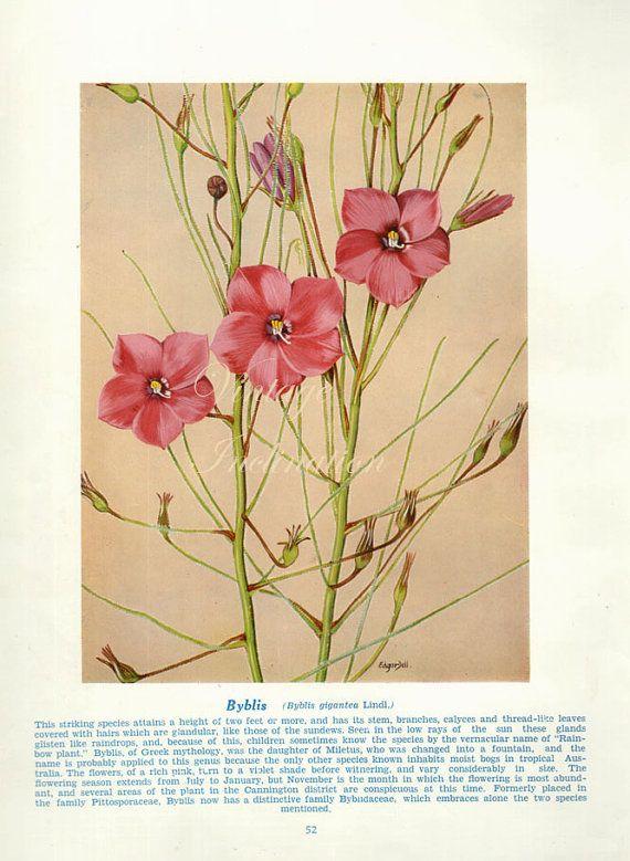 Vintage Botanical Print Antique Australian by VintageInclination