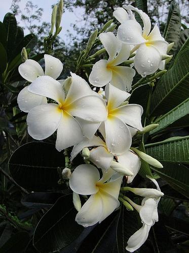 1000 Images About Plumeria Flower Pua On Pinterest