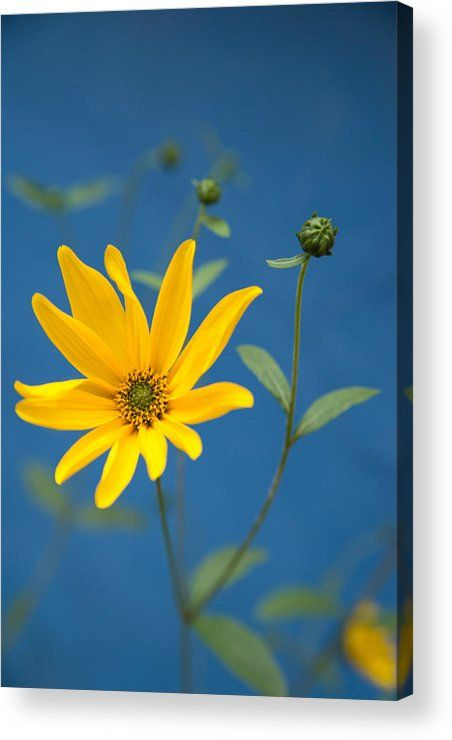 Yellow flower and blue wall Acrylic Print for sale. The image gets printed directly onto the back of a sheet of clear acrylic. The image is the art - it doesn't get any cleaner than that! Matthias Hauser - Art for your Home Decor and Interior Design.