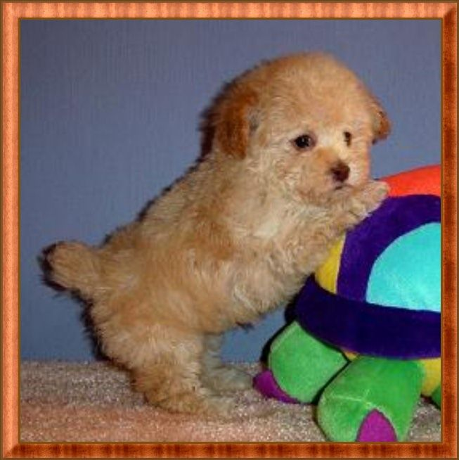 Miniature tea cup Poodles Puppies | Cream Tiny Teacup Poodle Puppy - Male - For Sale by AKC Breeder