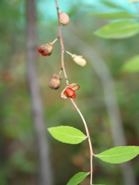Maytenus boaria | Trees | Patagonia Plants