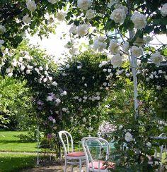 Плетистая роза правильный уход: 35 садовых арок из роз Знаю, это случалось с вами — ваша плетистая роза вас разочаровывала. Вместо буйного водопада цветов у вас на даче рос вполне обычный кустик роз…