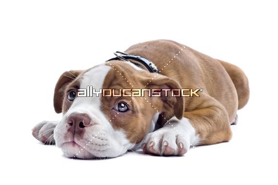 Bulldog puppy  Artist: © Erik  http://www.esight.nl/