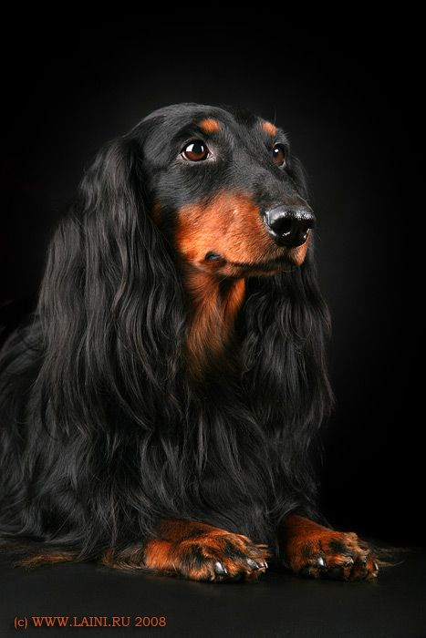 I would love a long hair Black and Tan Doxie!