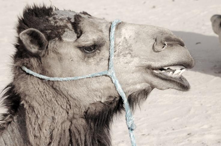 "Serie de fotográfias de Tunez  Tunez 007  ""La sonrisa del camello"""