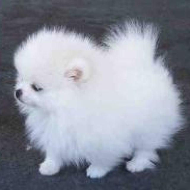 Toy pom. This is the dog I want!!!!