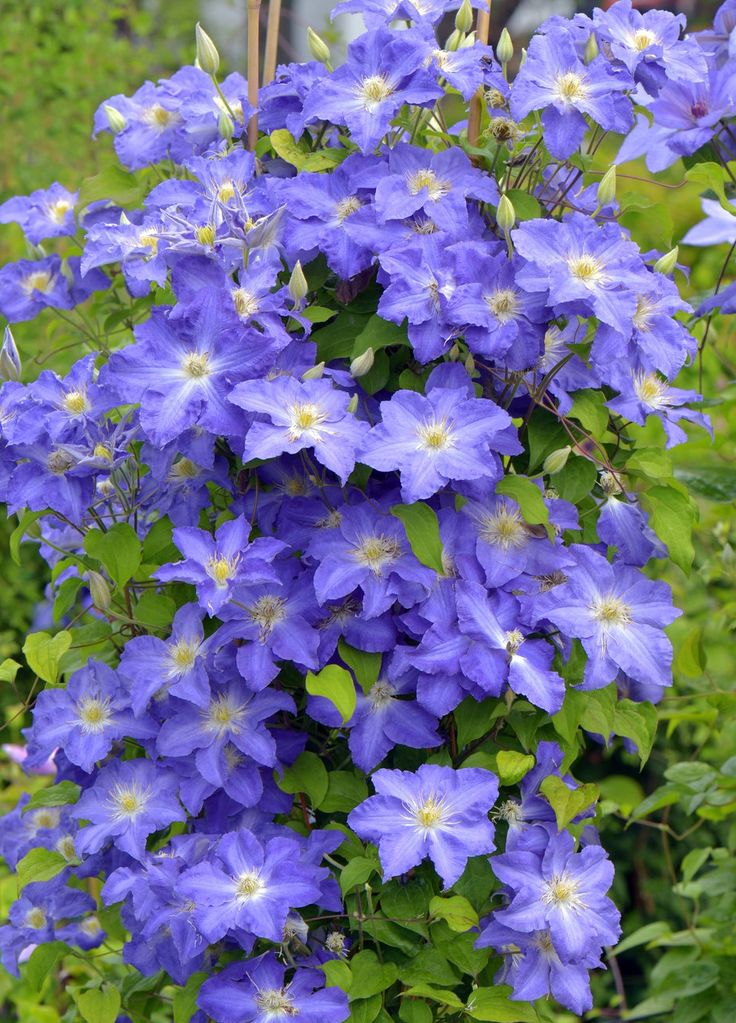 how to grow clematis vines