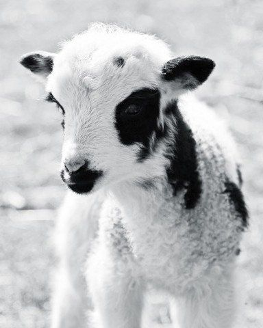 Soft Black and White lamb portrait ... Looks like a goat!