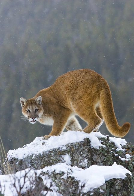 A mountain lion was shot to death...just for being a mountain lion.