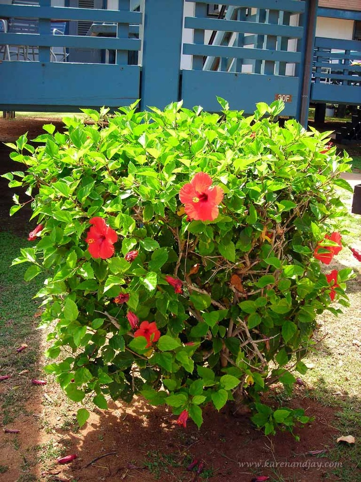 Hibiscus Bush Flower Hedge