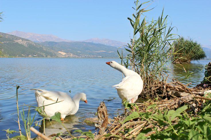 Gooses at Ioannina island!