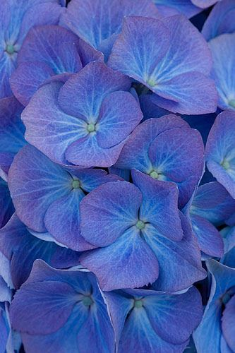 https://flic.kr/p/7znqYi | 41673 | Beautiful blue flowers of hydrangea macrophylla 'renate steinger'