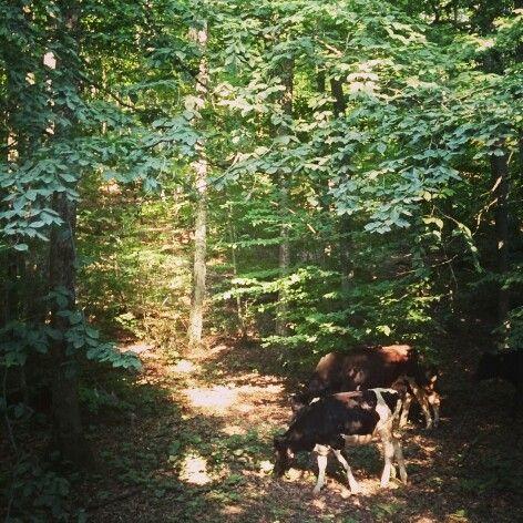 Longoz ormanları, iğneada