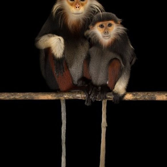 Here is Joel's favorite photo of two endangered red-shanked douc langurs at the Endangered Primate Rescue Center in Cuc Phuong National Park, Vietnam. See @natgeo for a video of these two!