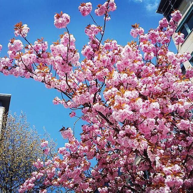 【tedy1985】さんのInstagramをピンしています。 《Es dauert zwar noch etwas bis zum Frühling, aber die ersten warmen Temperaturen wecken schon die ersten Frühlingsgefühle ☺🌸🌻🌼🍀🌹 #spring #cherryblossoms #cherry #trees #city #flowers #flowerpower #colors #colorful #farbverlauf #beautiful #amazing #nature #instanature #naturephotography #naturelovers #natureporn #purple #chemnitz #saxonia #germany #febuary #2017 #photo #photooftheday #instagram #blossoms #kirschblüten #dasistunserchemnitz》