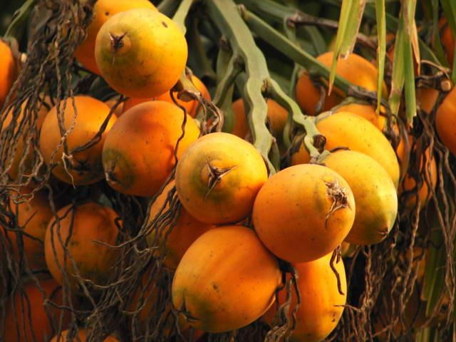 #BeteL_Nut_Fruit :  Scientific name - #Areca_catechu  Chewing betel leafs with #areca nuts is said to have some systemic effects on health. Making it a habit is said to have a greatly increased risk of developing a range of serious diseases. People who use #betel_nut, may experience the following: #Tremors #Dizziness Upset stomach, #diarrhea, #vomiting , #Psychosis  SEE MORE https://goo.gl/ohBixu