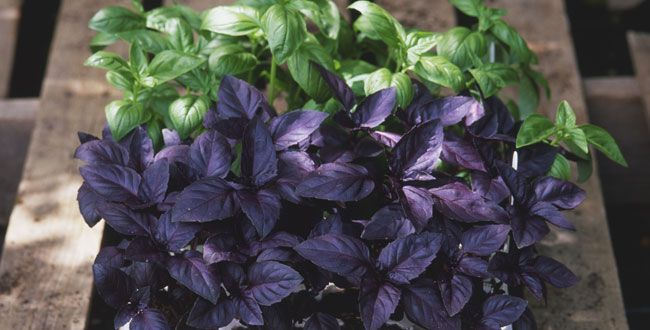 8 Plants That Repel Mosquitoes Naturally