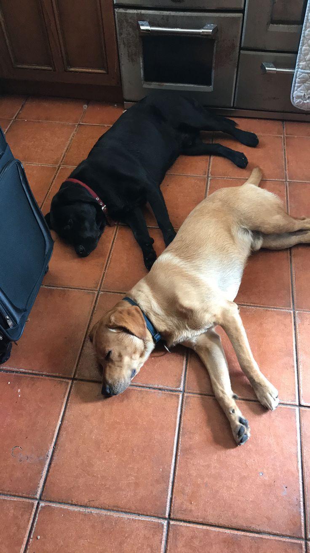 Too hot today 😩🌞 #durpyandollie #labrador #foxredlab #blacklab #puppy