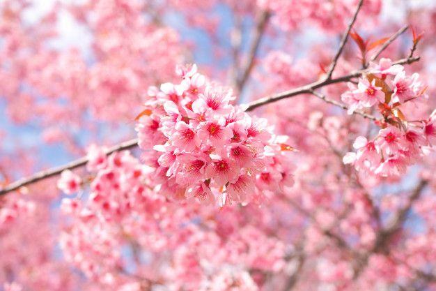 Wild Himalayan Cherry Blossoms In Spring Season Pink Sakura Flower For Background Beautiful Flowers Wallpapers Sakura Flower Cherry Blossom Pictures