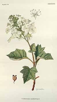 Hydrangea quercifolia, Oakleaf Hydrangea, Eikenblad hortensia. Addisonia, (1920) [M.E. Eaton]