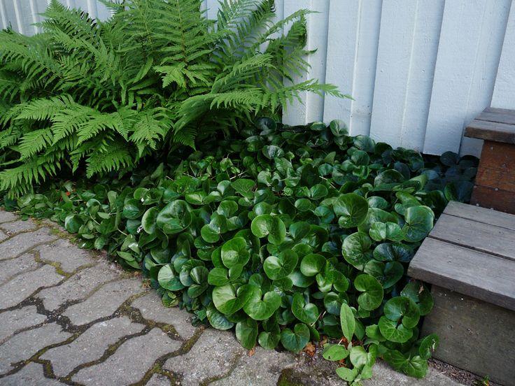 9 VÄXTER FÖR DEN SKUGGIGA NORRSIDAN   shape IT green   Det kan vara lite klurigt att hitta växter att plantera i det torra, skuggiga läget invid en husvägg i norrläge. Här har jag valt ut 9 växter som trivs i torrt och skuggigt läge för dig som ännu inte riktigt lyckats med skuggrabatten i norrläge.